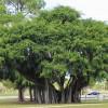 Banyan Trees