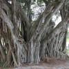 Banyan Trees 2nd Pic