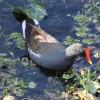 Common Moorhen Duck