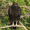 Black Headed Vulture