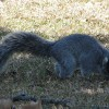 Souther Fox Squirrel