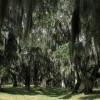 Oak Trees and Spanish Moss
