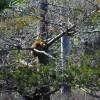 Raccoon was sleeping in tree