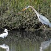 Snowy Egret and Great Blue Heron