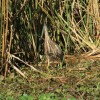 American Bittern like to camouflage