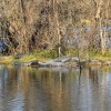 Alligator on sunny day