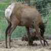 Just born baby Elk