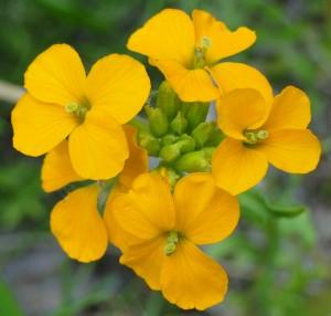 Alaska Wild Flower