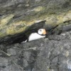 Puffin nesting cave