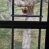 Pesty Cardinal